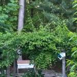 hardy kiwi growing amongst bees and birds