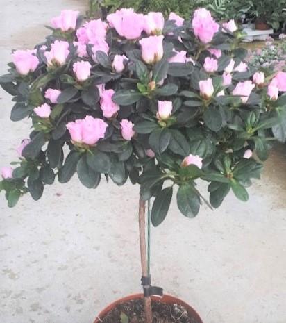 planta azalea podada en copa