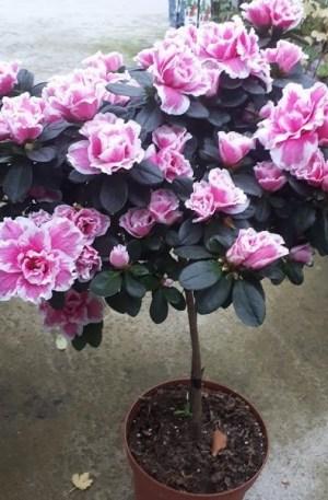 planta en copa de azalea bicolor