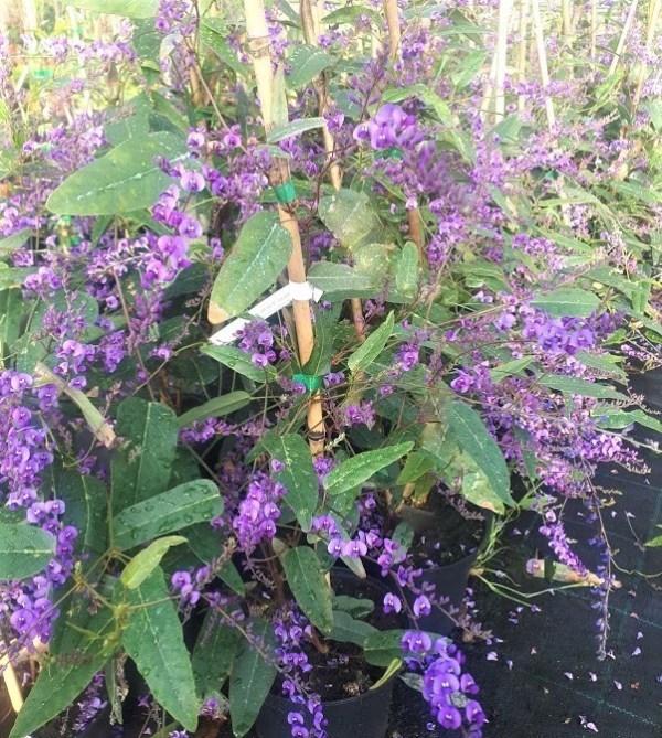 handenbergia planta trepadora