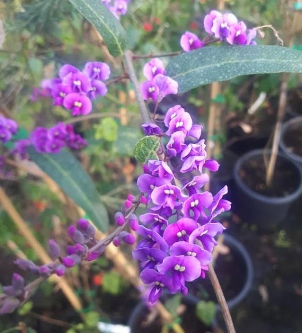 handenbergia violacea