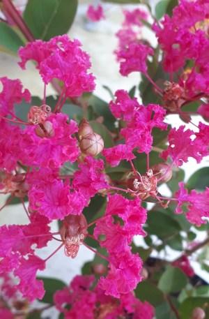 árbol de jupiter fucsia rojo de lagerstroemia