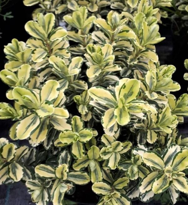 hebe pinocchio variegata veronica planta