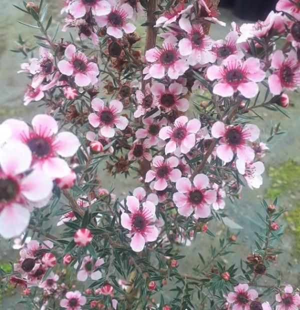 planta leptospermum rosa