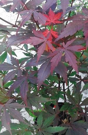 arce japones acer palmatum atropurpurea