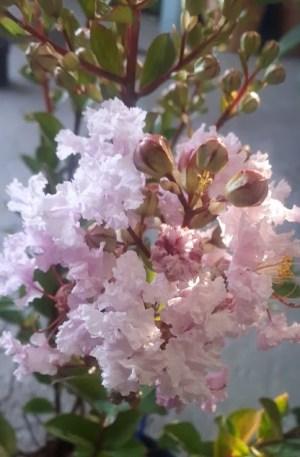 árbol de júpiter lagerstroemia flor rosa