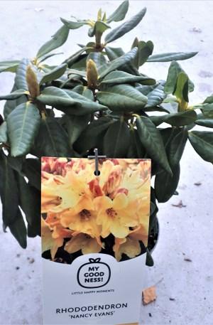 rhododendro nancy evans flor amarilla rododendro