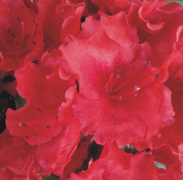 azalea japonica roja