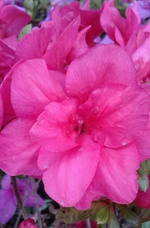 azalea japonica flor rosa