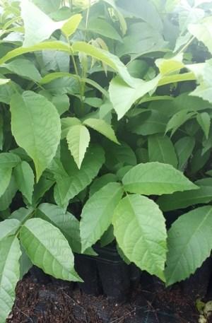 juglans regia, nogal fruto planta