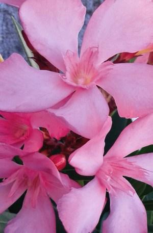 nerium oleander , planta adelfa rosa