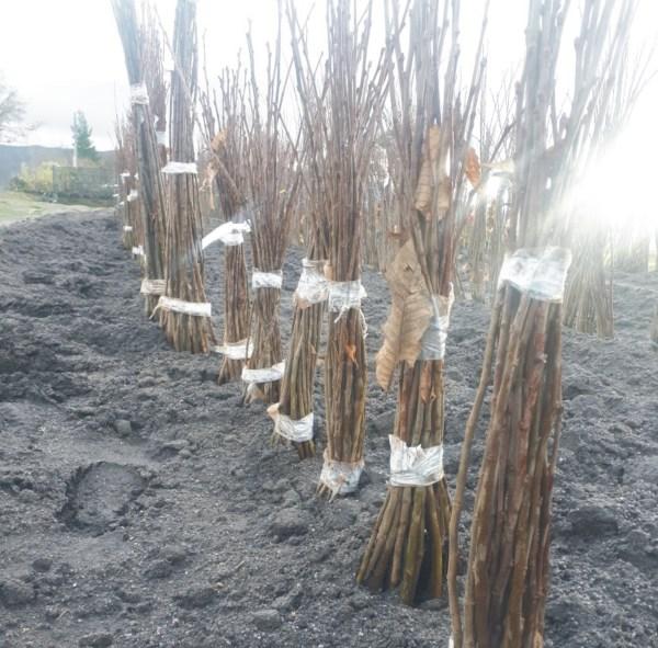 planta de castaño 90044 para fruto resistente
