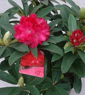 rododendro rojo fuerte planta de rhododendro (2)