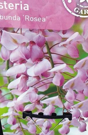 wisteria glicinia rosa