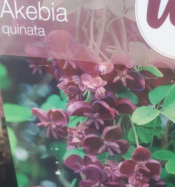 aquebia quinata akebia chocolate trepadora