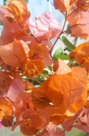 bouganvillea naranja buganvilla