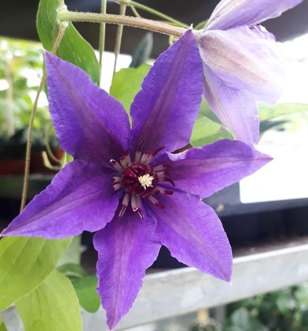clematis the president azul planta trepadora