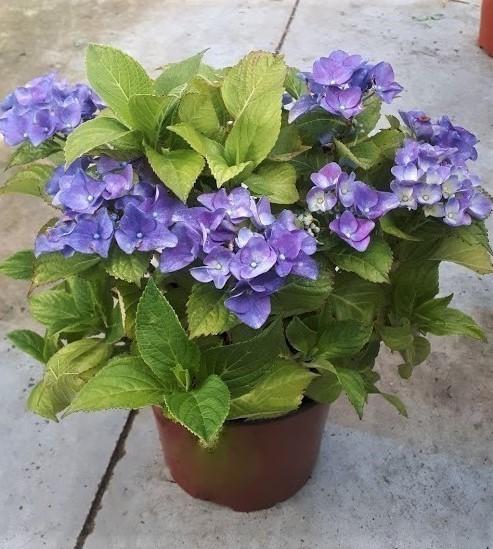 hortensia azul, hydrangea