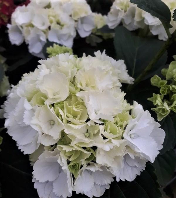 hortensia blanca hydrangea