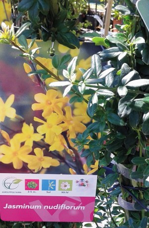 jazmin amarillo o trepadora de jasminum nudiflorum