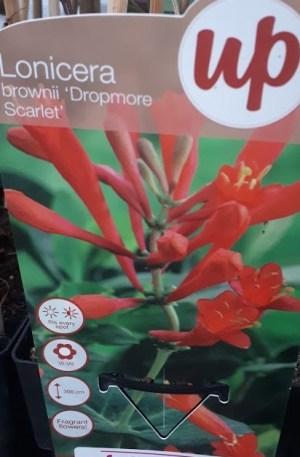 lonicera roja brownii dropmore scarlet
