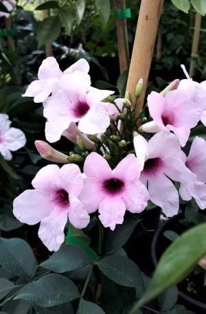 pandorea rosa bignonia
