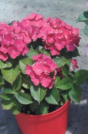 planta de hortensia roja o hydrangea