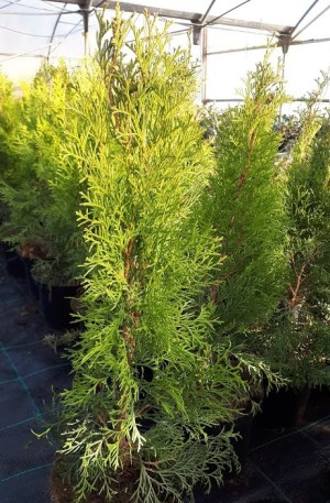 thuja occidentalis esmeralda
