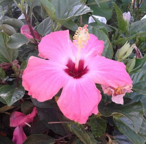 hibsicus rosa sinensis rosa de china