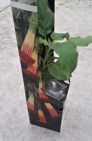 brugmansia arborea trompetero datura