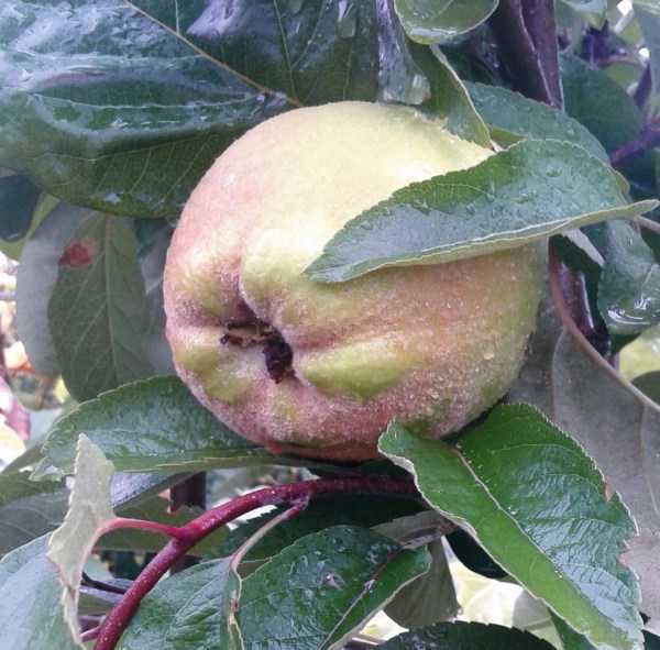 memrbrillo árbol frutal