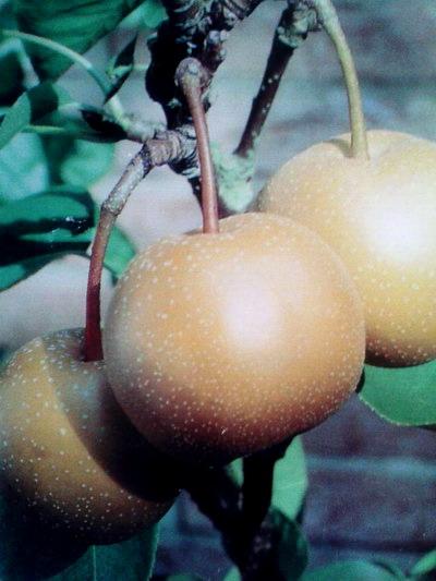 nasi, nashi, fruta entre pera y manzana