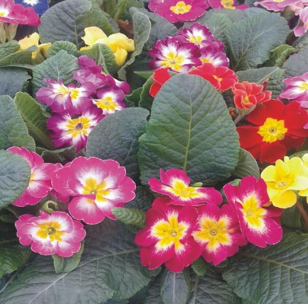 primulas primaveras
