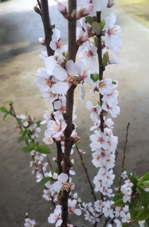 prunus tomentosa, flor blanca cerezo