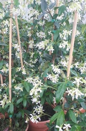 falso jazmín o trachelospermum jasminoides