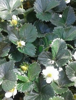 fresas plantas en cepellón