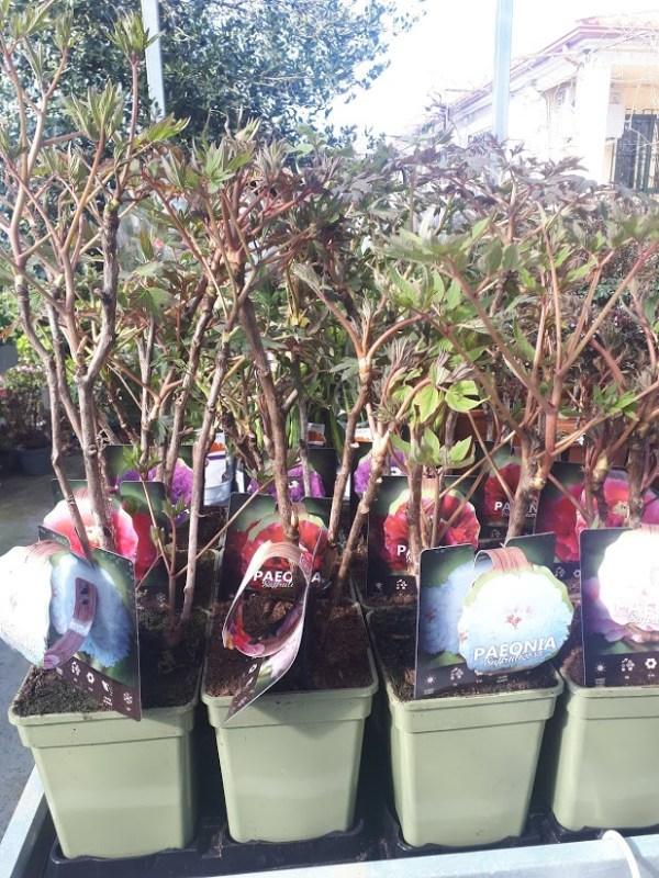 peonia suffruticosa planta