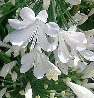agapanthus blanco agapanto