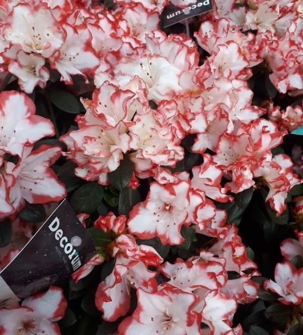 azalea bicolor rojo por fuera