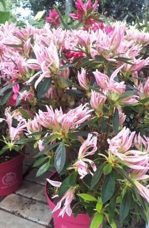 azalea japonica pink spider