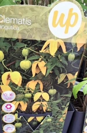 clematis amarilla tangutica