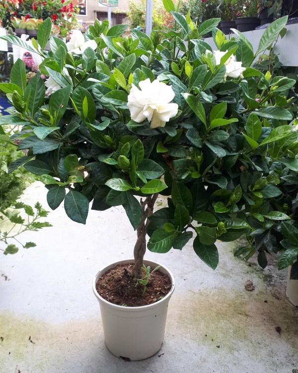 gardenia copa o podada e