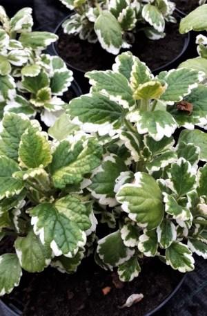 incienso planta aromática
