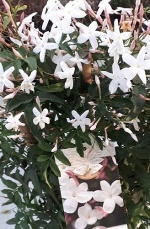 jasminum polyanthum jasmín