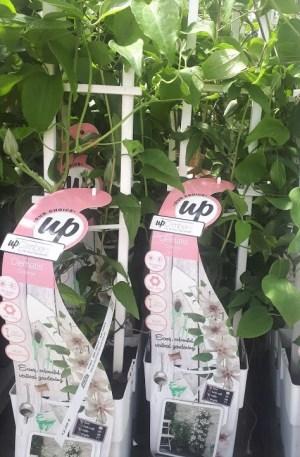 clematis corinne planta trepadora flor blanca