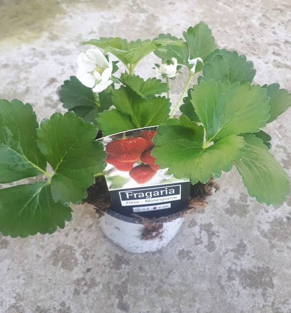 fresas plantas para huerta y jardín