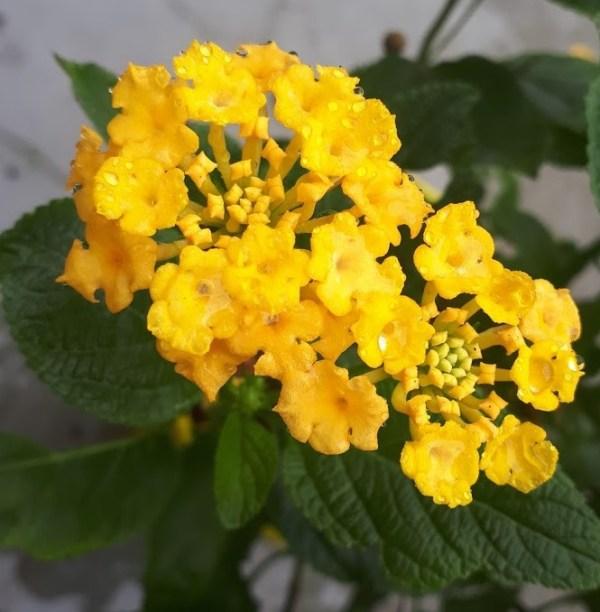 lantana amarilla planta