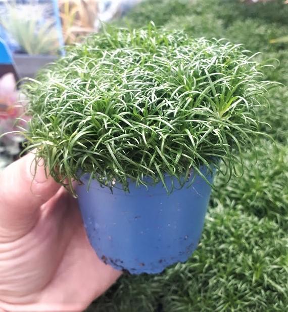 sagina subulata procumbens