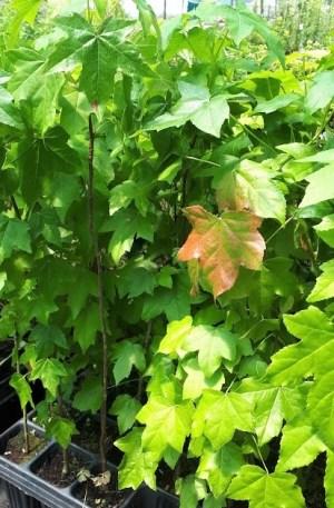 liquidambar árbol del ambar