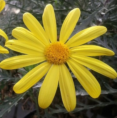 margarita amarilla, euryops